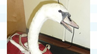 The swan was shot through the chest with a crossbow bolt