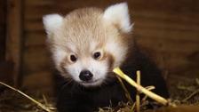 """Kung Fu"" panda born"