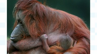 A two-week-old orangutan with mother Kibriah at Twycross Zoo in Leicestershire.