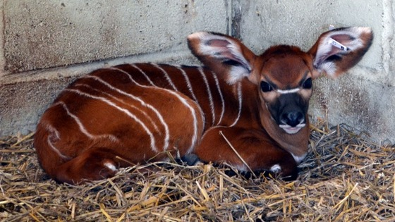 Whipsnade's new baby Big-eared Bongo