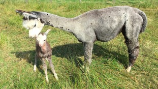 Mother and baby alpaca saved during traumatic birth at a Northumberland farm