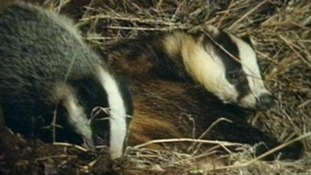 Badger cull dropped in government u-turn