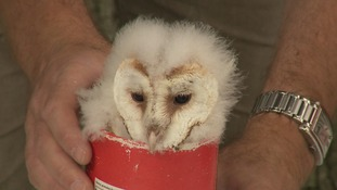 One of the barn owls helping to increase numbers again in Suffolk
