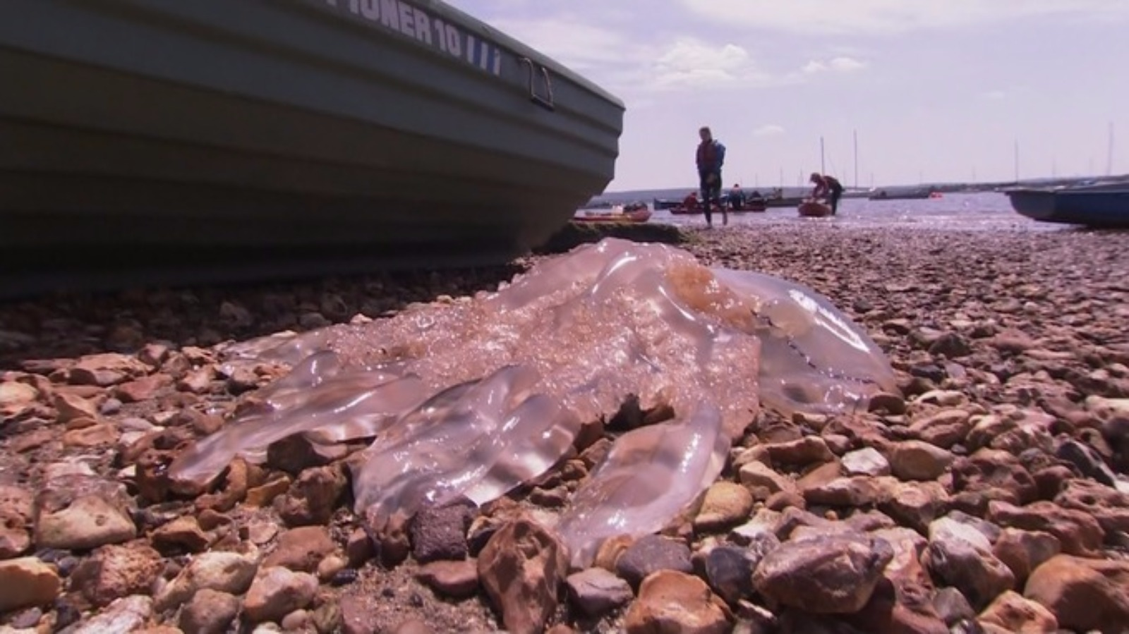 Record Numbers Of Jellyfish Return To Uk Waters Itv News
