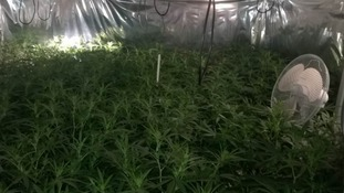 £800,000 of Cannabis seized in Minehead