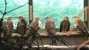Final phase of Red Kites released in Cumbria