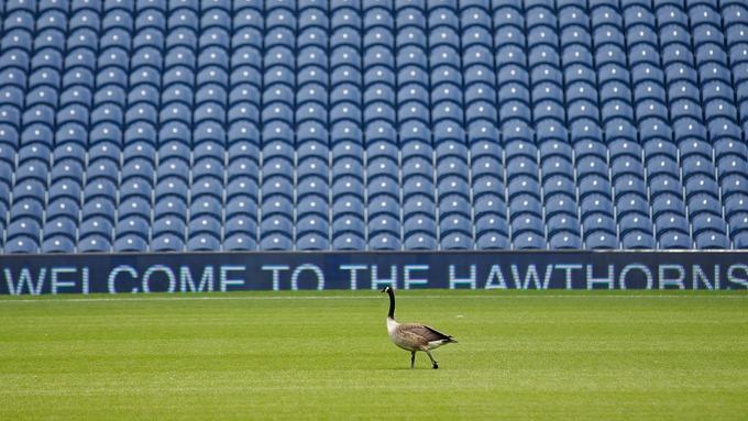 Перед матчем ВБА - Челси на поле появился гусь - изображение 1