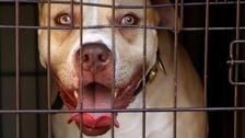 A stock photo of a pitbull dog