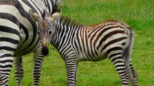 New colt zebra seen here with his mother Zara