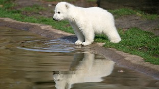 Mystery surrounding death of Knut the polar bear finally solved