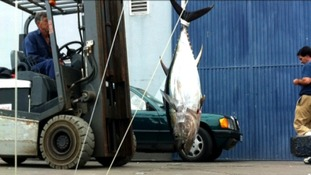 Tuna fish transported by fork lift truck