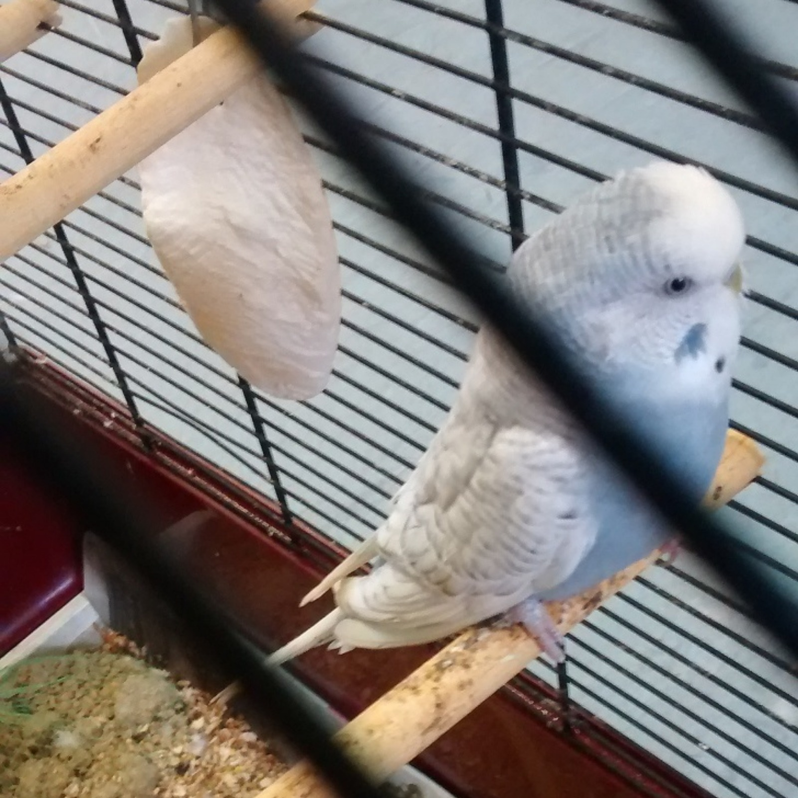 Budgie Found 'collapsed' In Cage After Being Abandoned In