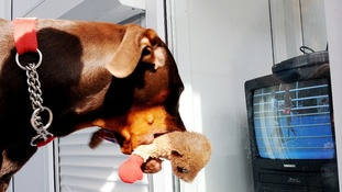 Dexter the 10-month-old Doberman pet of boxer Nicola Adams holds his boxer stuffed toy as he watches her gold medal fight.