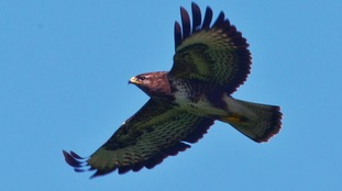 A buzzard was killed by a gamekeeper at the estate.
