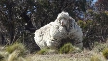 The giant merino sheep