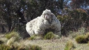 The giant merino sheep