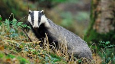 The badger cull is now underway