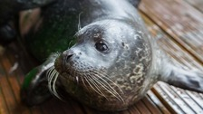 Calypso the seal pup at Tynemouth's Blue Reef Aquarium