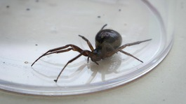 Homes could see invasion of false widow spiders