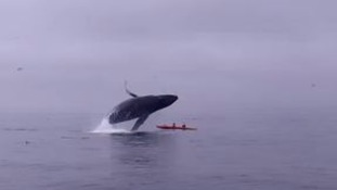 The whale jumping onto the kayak