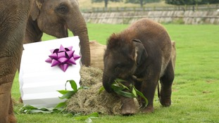 Baby elephant given 'birthday cake' to celebrate first birthday