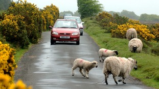 Sheep and livestock are on the road.