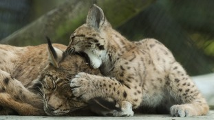 Newborn lynx out and about