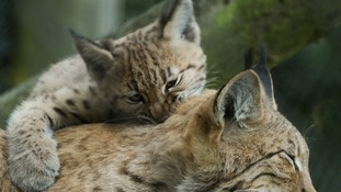 Carpathian lynx kitten