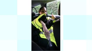 Police officers help disorientated cygnet