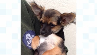 Fox the Chihuahua Cross puppy