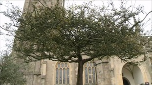The Holy Thorn in Glastonbury