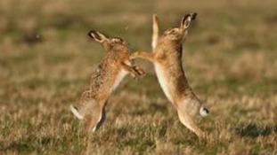 Boxing hares at Welney Wetland Reserve