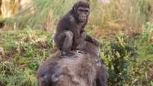 Baby gorilla turns four