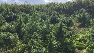 Police stumble on a 'cannabis forest' in Kingston