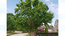 Tolpuddle Martyr's Tree