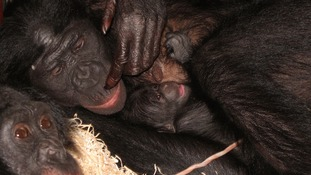 Voting opens for naming Bonobo at Twycross zoo