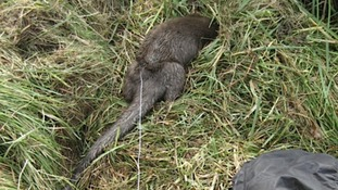 Otter caught in trap at Bleadon
