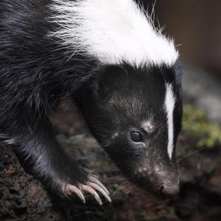A skunk like this one has escaped in Crediton