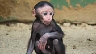 Critically-endangered monkey needs a name - can you help?
