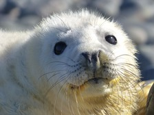 Close-up shot of a white seal pup's face