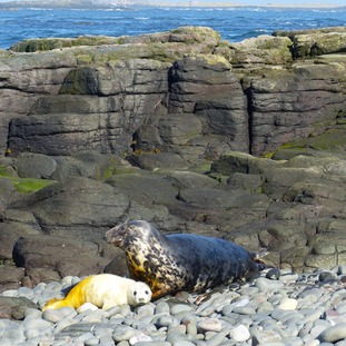 Wide shot of the baby seal on rocks with an adult seal