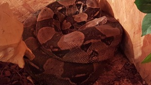 Mufasa the boa constrictor.