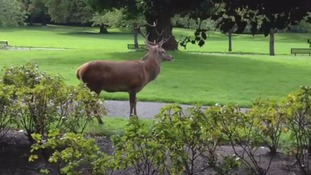 Red Stag in Park Hill recreation ground