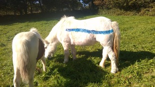 Dartmoor ponies are being painted to protect them from drivers
