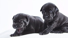 Phu Quoc Ridgeback pups