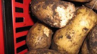 Rats have been having a feast of these potatoes.