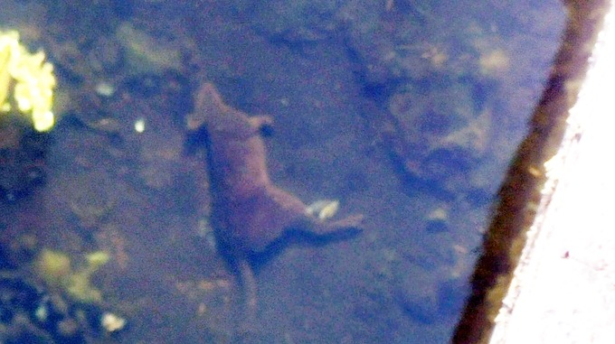 The wallaby was found in the River Exe in Devon