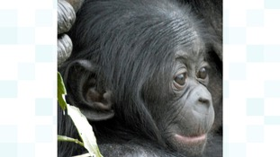 Ndeko the baby Bonobo