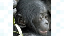 Ndeko the baby Bonobo