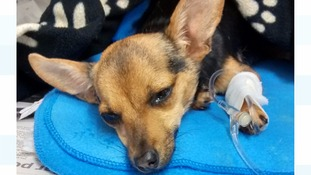 Pregnant dog dumped half way through giving birth